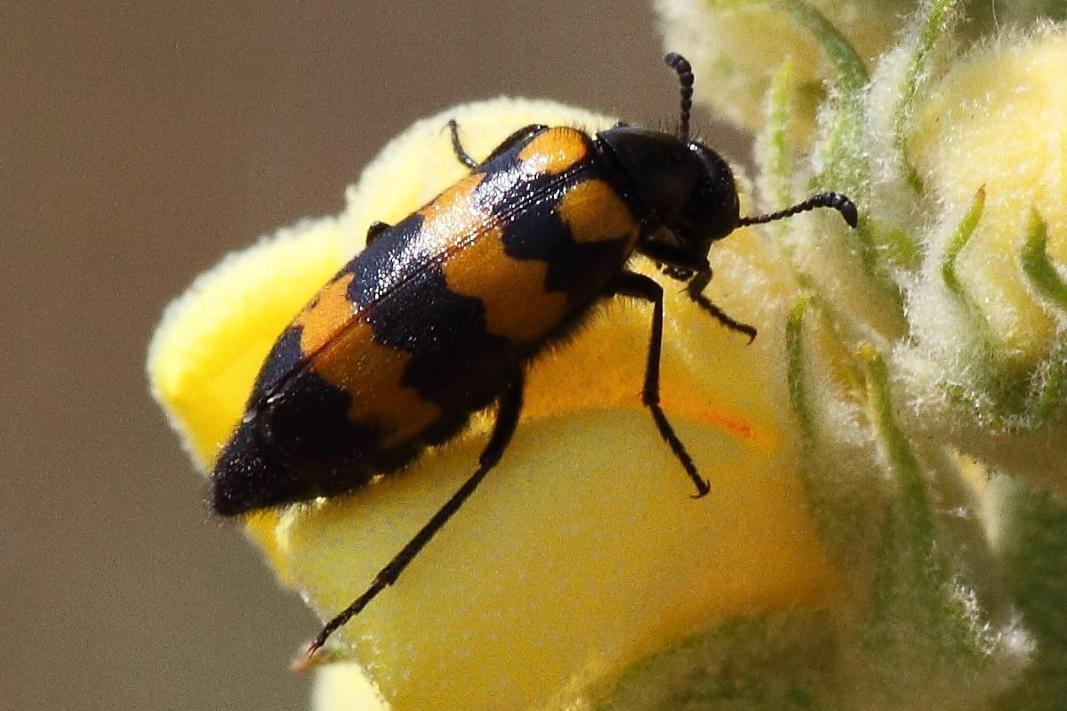 Нарывник Mylabris variabilis
