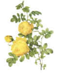rosengelb13.png