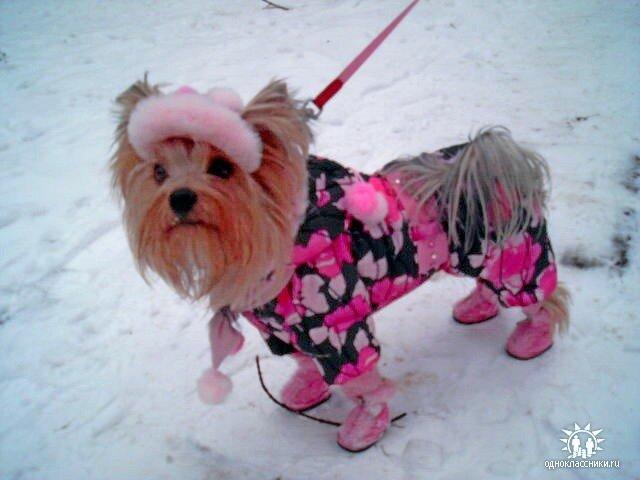 Кровеносная система в лапах собак устроена так, что тепло от артерий передается к венам.  Это достигается за счет из...