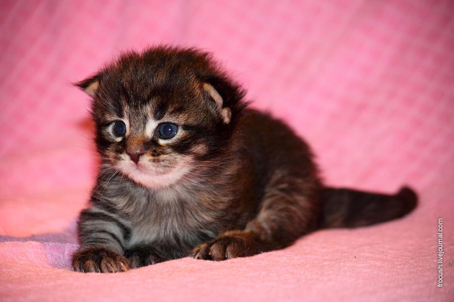 двухнедельный котенок Мейн-кун