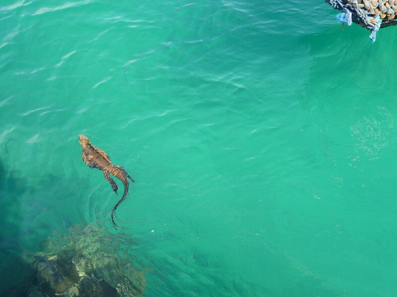 Морская игуана-1.JPG