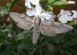s:дневные бабочки ,c:охристо-серые,c:серые,размах крыльев до 95 мм