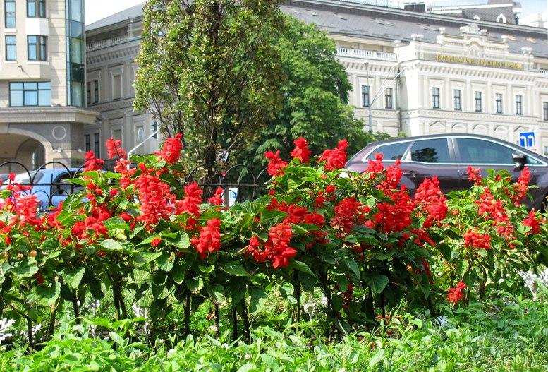 Красные цветы на улицах Киева
