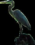 Greater Blue Heron_Dennis_05_2011.png