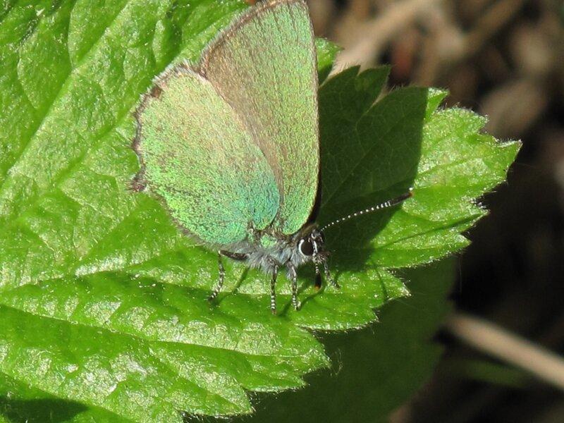 Малинница, или Голубянка малинная Callophris rubi