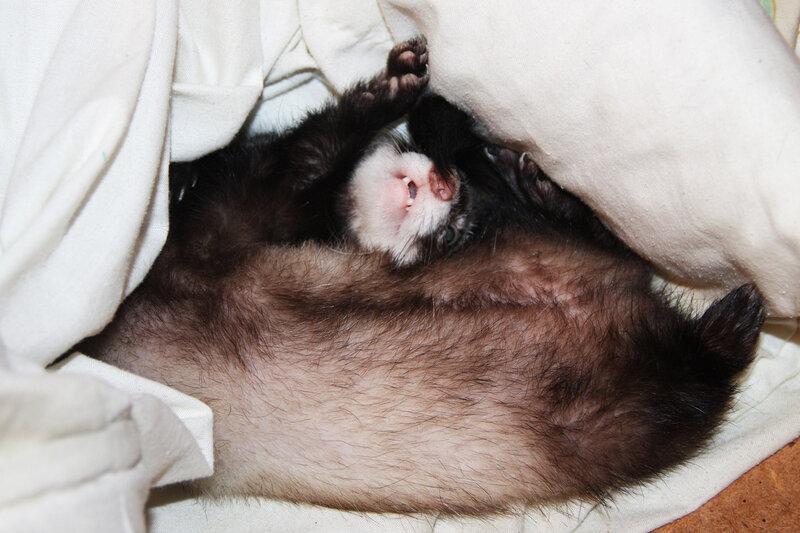 нужно рано засыпать и рано просыпаться, хорьки