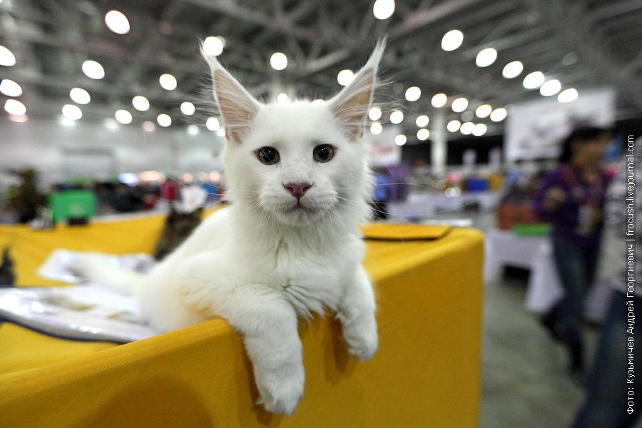 белый котенок Мейн-кун слышит