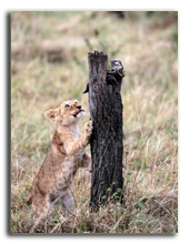 Кения. Масаи Мара. Lion cub playing in the Masai Marra reserve in Kenya AfricaSTYLEPICS - Depositphotos
