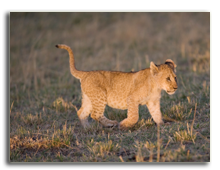 Кения. Масаи Мара. Фото FrankParker - Depositphotos