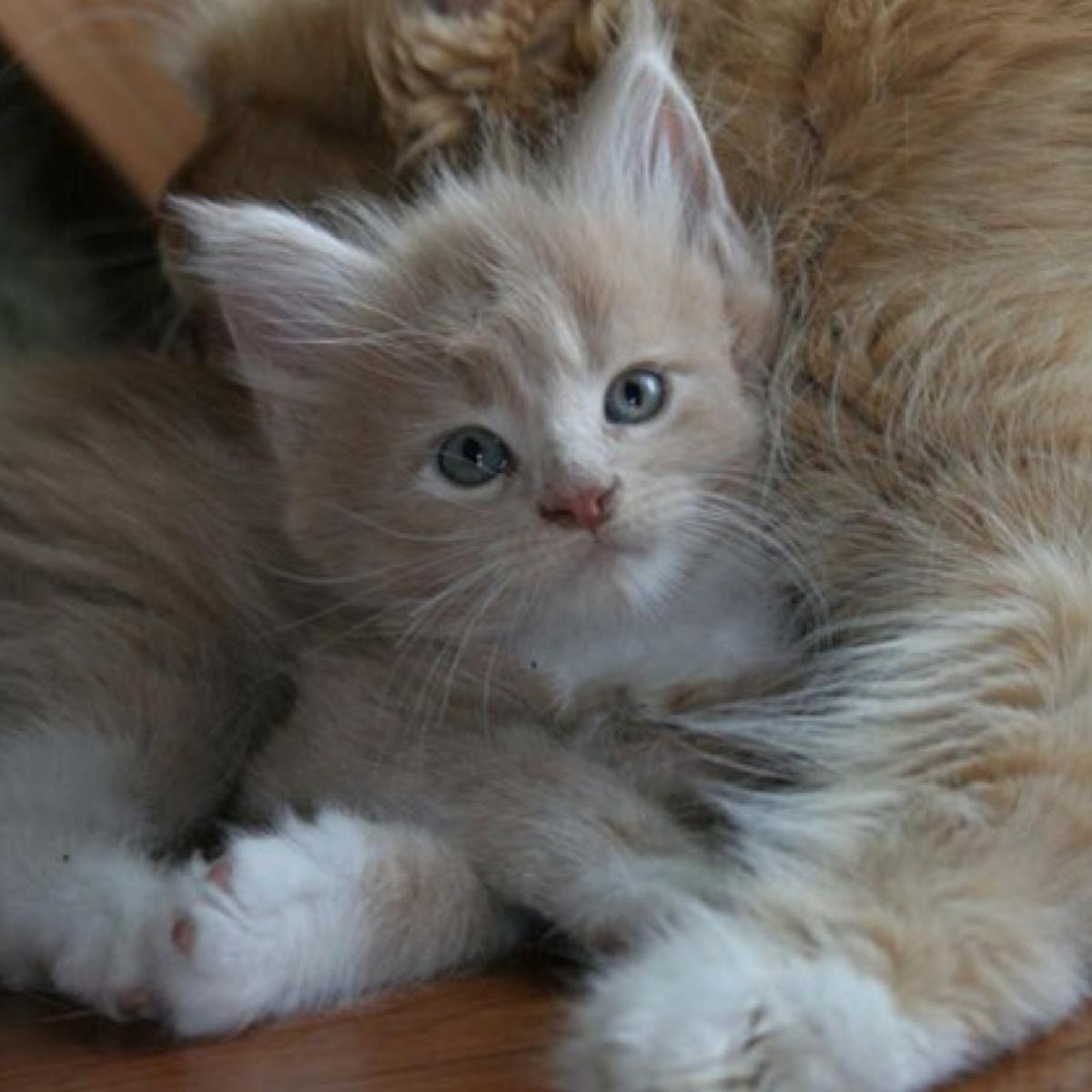 Котик крем с белым