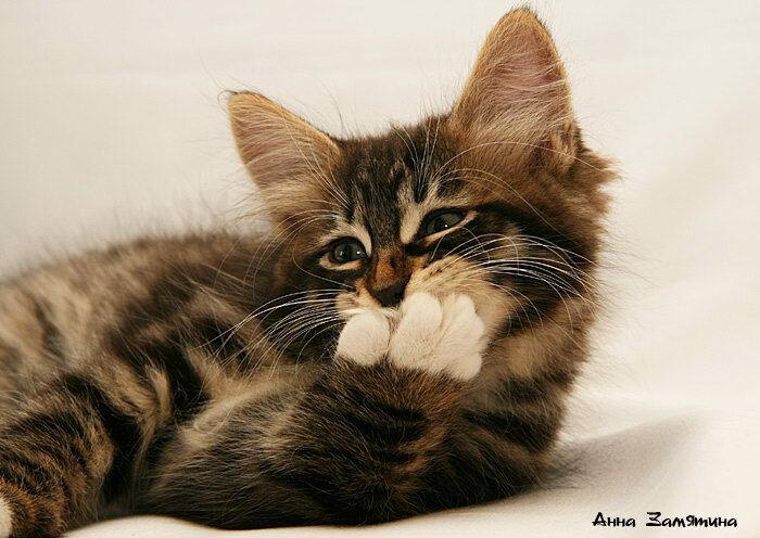 сибирская порода котенок