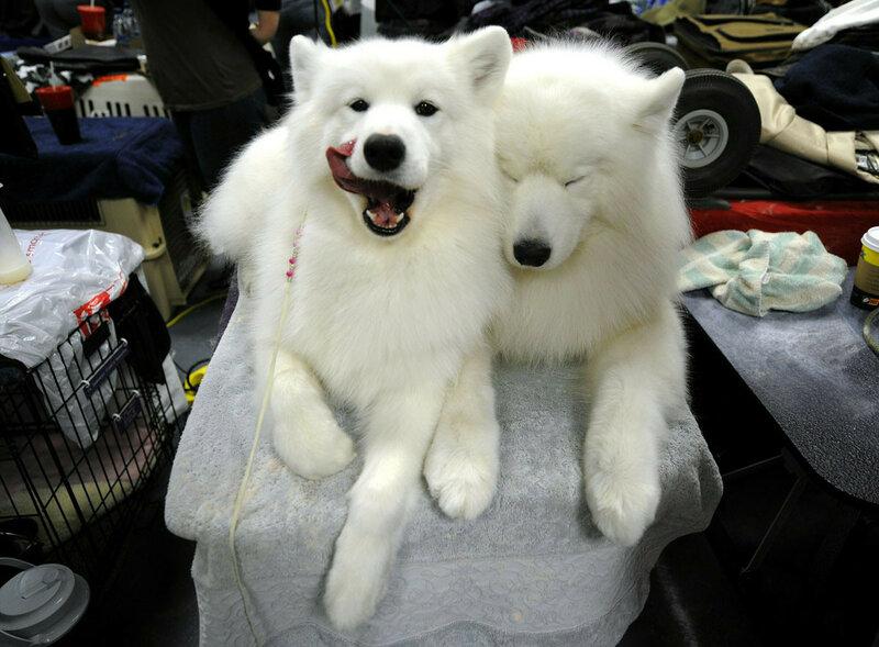 «Олимпиада для собак». Фотографии выставки Westminister Kennel Club