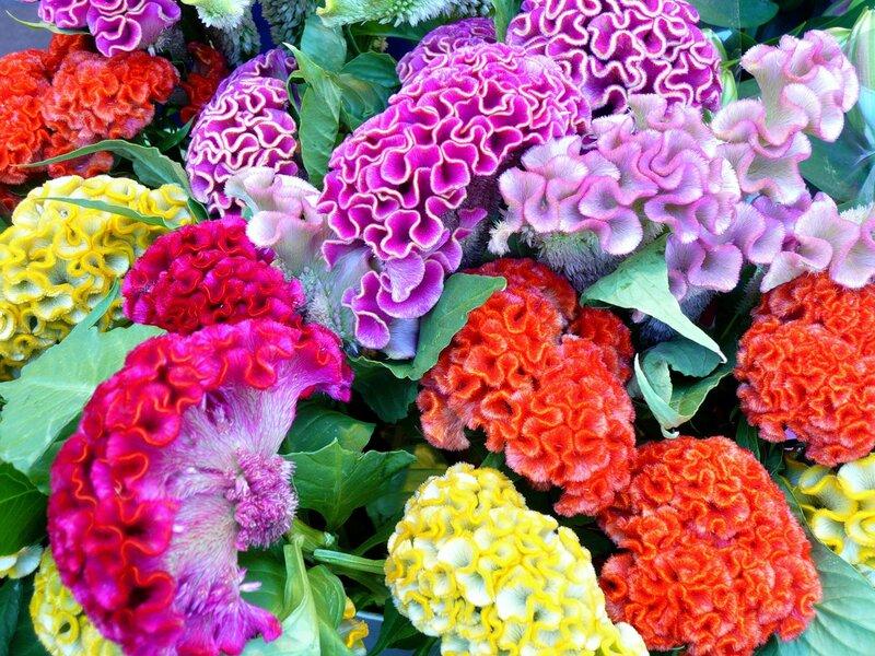 Цветы целозия посадка и уход