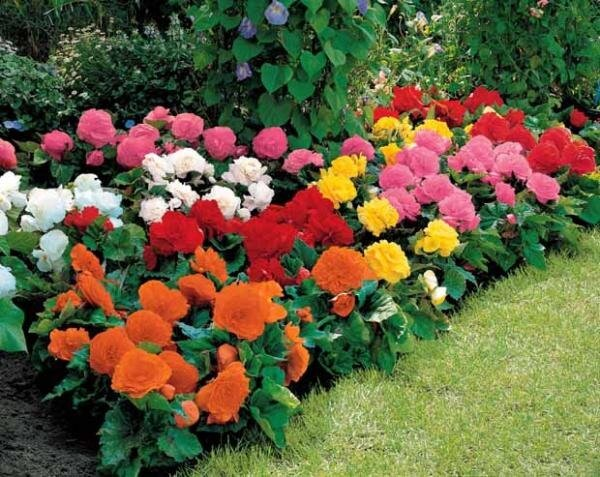 Бегония в саду выращивание 24