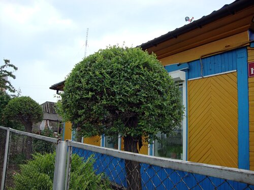20110606 - Стрижка деревьев16