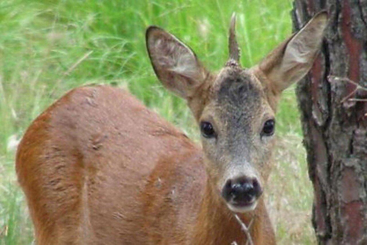 В 2008 году в Тоскане был обнаружен молодой 10-месячный самец косули с одним рогом, растущим ровно и симметрично посреди лба. В настоящий момент жив, для сохранения перевезён в природоохранный центр Прато.