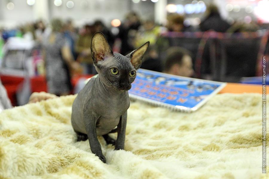 Котенок Канадского сфинкса фотографии выставка кошек