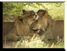 Кения. Масаи Мара. Фото piccaya - Depositphotos