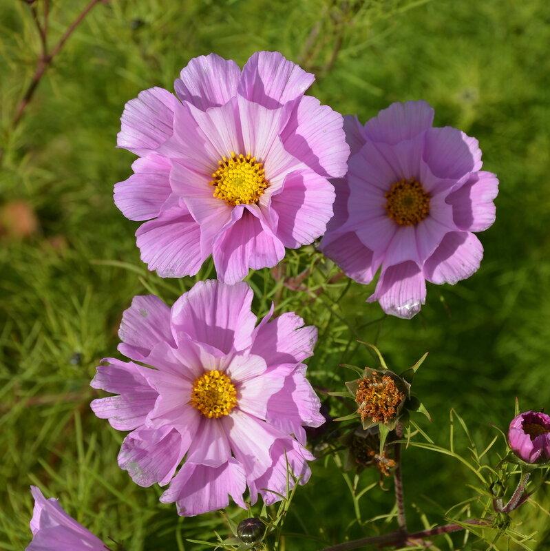 Цветы космея фото как выращивать