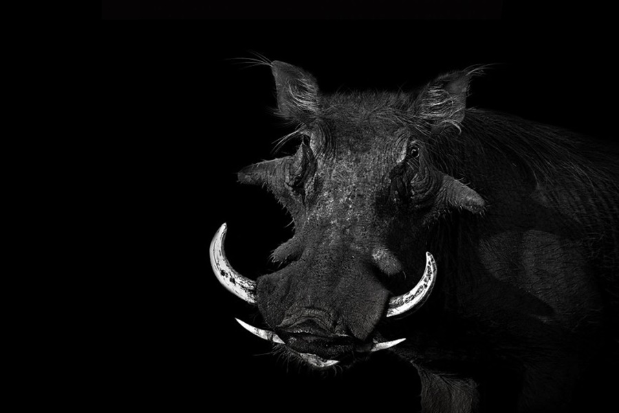 Лукас Холас. Черно белые портреты животных 0 1419da cb7d5c75 orig