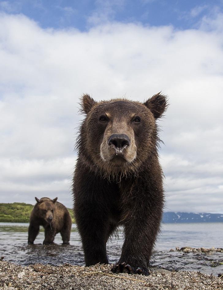 Медвежонок оказался очень любопытным. Он подходил все ближе и ближе. Ноздри работали на полную мощно