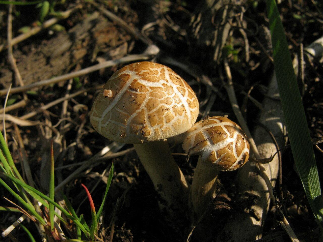 Чешуйчатка ранняя (Agrocybe praecox). Автор фото: Станислав Кривошеев