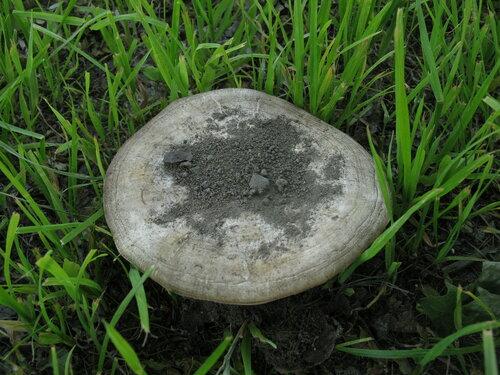 С шампиньонами у меня в этом году не складывается, в основном престарелые и засохшие грибы попадаются Автор фото: Станислав Кривошеев