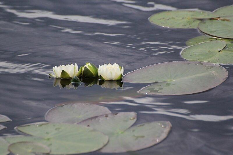 Кушинки чистобелые  (лат. Nymphaea candida) в Чёрном озере (Киров)