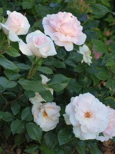 Роза чайно-гибридная Э Уайтэ Шэйд оф Пэйл (A Whiter Shade Of Pale)Bred by Colin A. Pearce (United Kingdom, 2006)