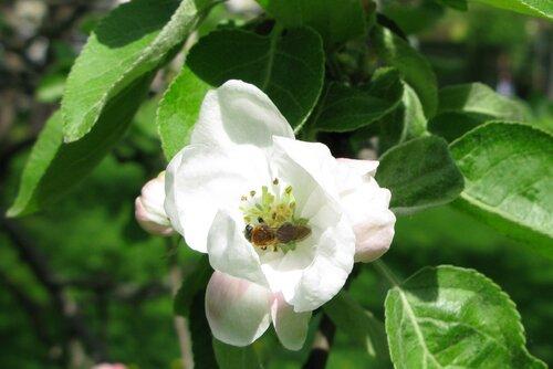 яблоня, пчела