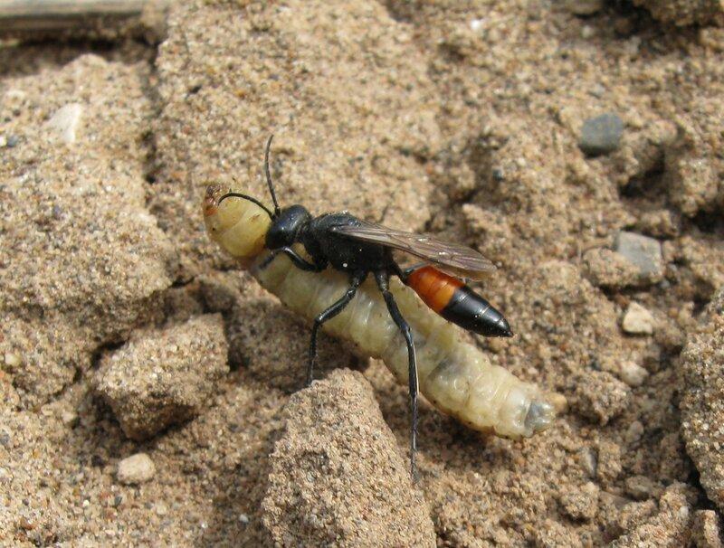 Аммофила песчаная (Ammophila sabulosa) Автор фото: Олег Селиверстов