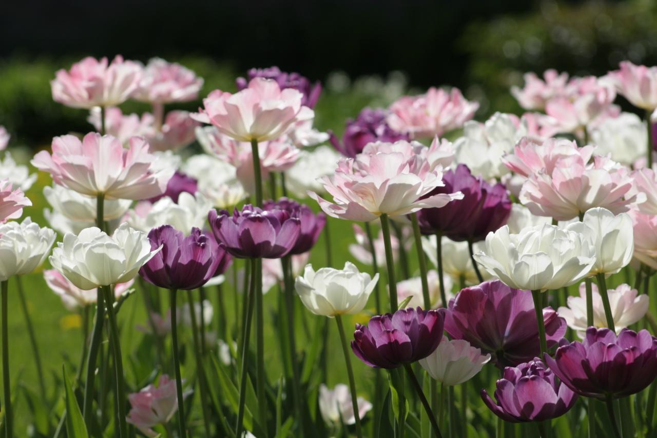 Махровые тюльпаны.