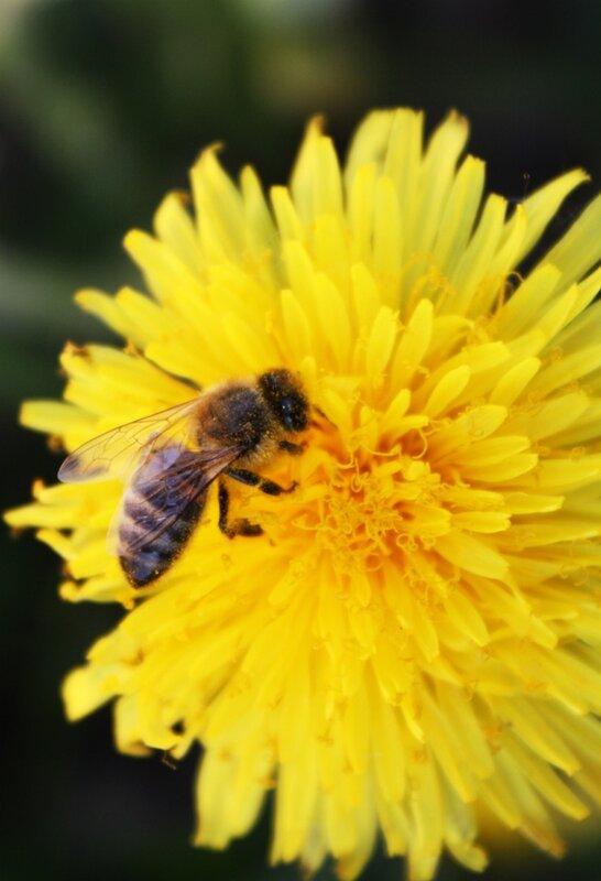 пчелы, аллергия на укусы пчел
