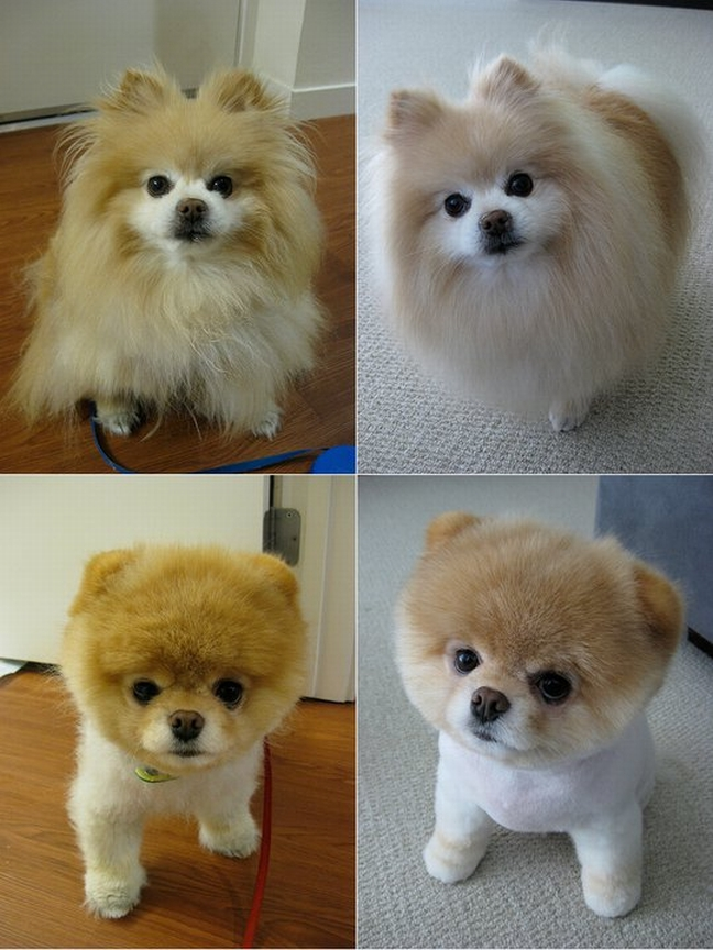 Pomeranian boo haircut