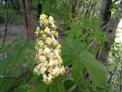 Каштан расцветает 2011.05.23