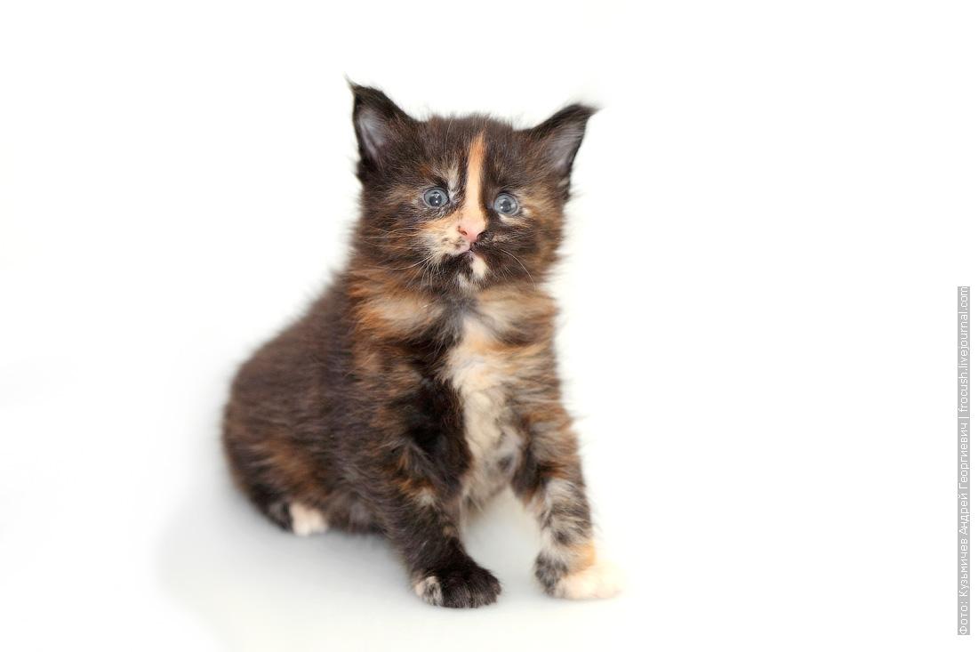 котенок мейн-кун 1 месяц фотография