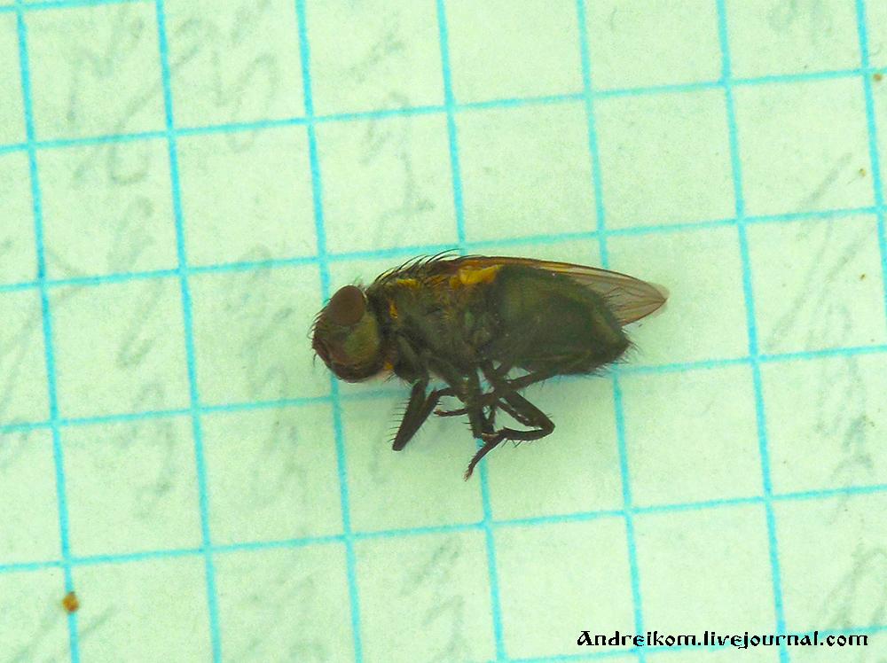 сонная муха фото массу