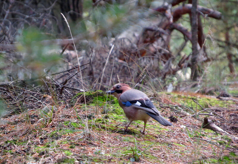 Jay in the wilds of the forest ..