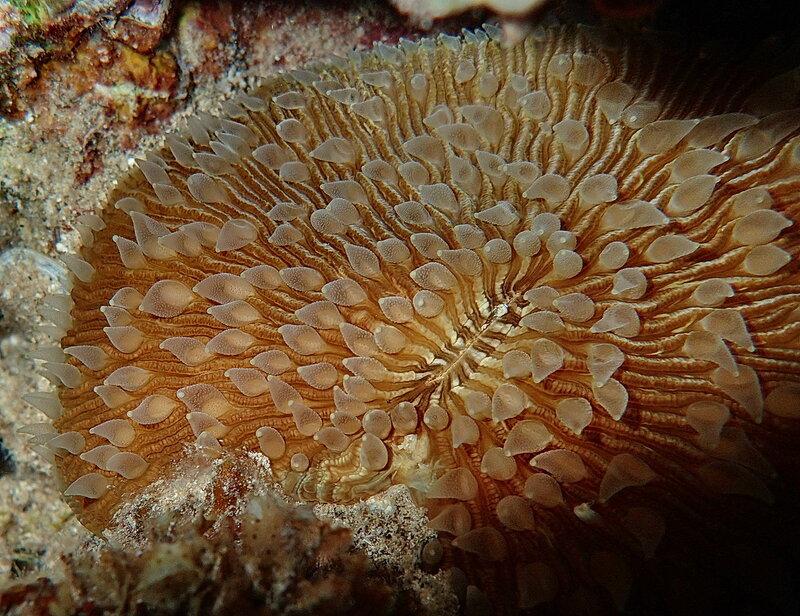 Обыкновенная фунгия (Fungia fungites)
