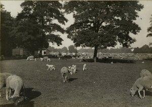 1914. Зоосад в Булонском лесу . Специально отведенное место для новорожденных овец. 1 октября