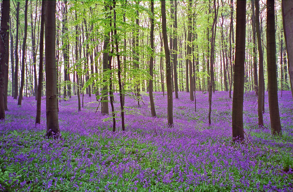 Фотографии Халлербоса   лес синих колокольчиков в Бельгии 0 140af8 3174781e orig