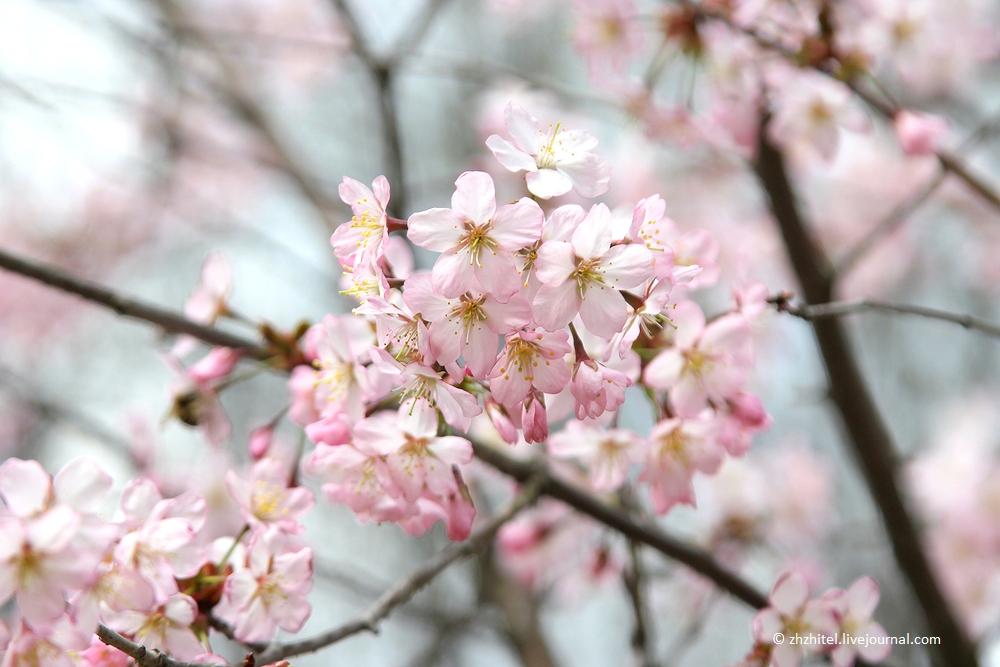 Праздник цветущей сакуры