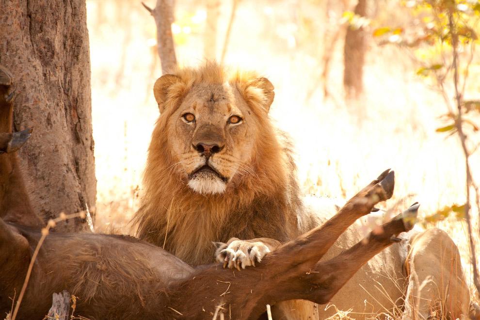Власти Зимбабве заявили, что потребуют от США экстрадиции зубного врача, убившего льва Сесила,