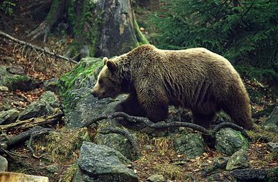 Работник заповедника наСахалине выжил после нападения медведя