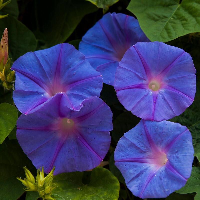 Japanese morning-glory flower