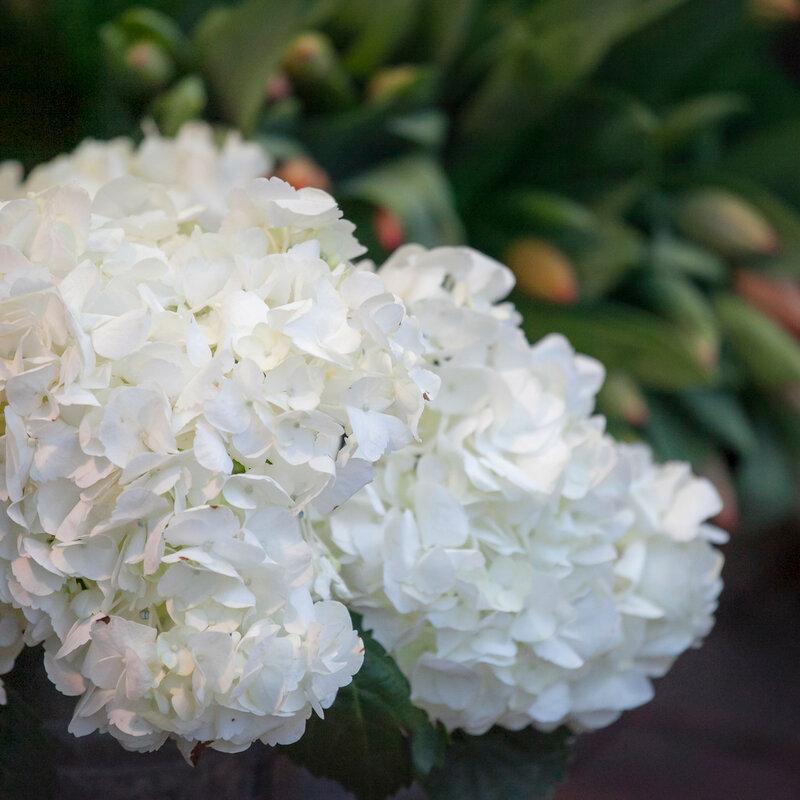 hydrangea. Close up of blossom plant in garden