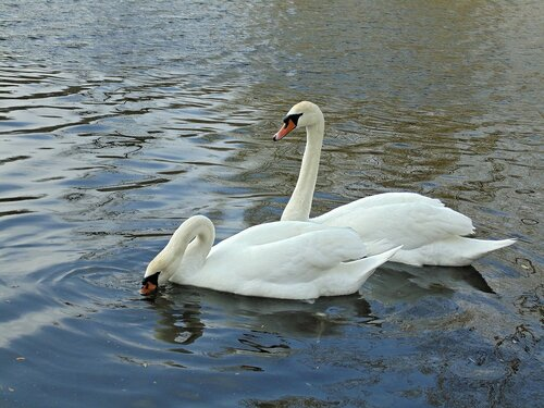 На озеро вернулись лебеди...8
