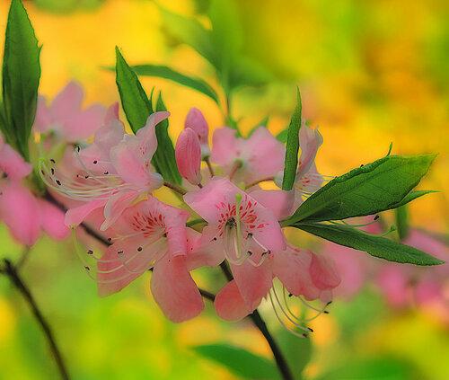 Весеннее цветение рододендрона