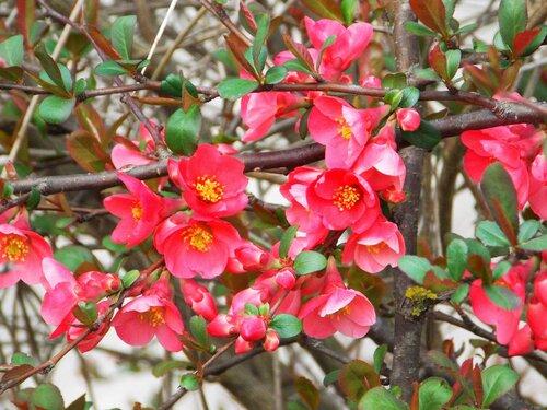 Цветет японская айва