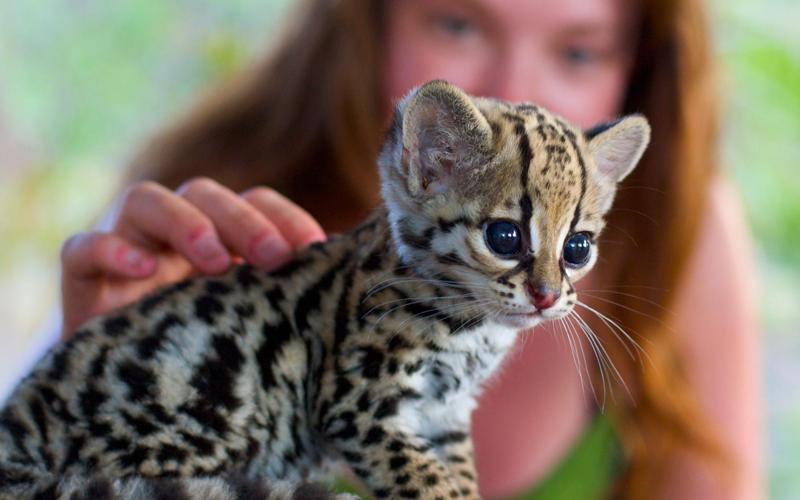 9. Оцелот Оцелоты представляют собой небольших диких котов, обитающих в тропических лесах Северной и